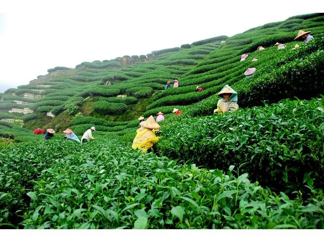 Tea Garden Sylhet Bangladesh
