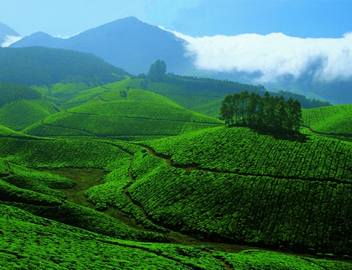 Tea Gardens at Devikulam Munnar